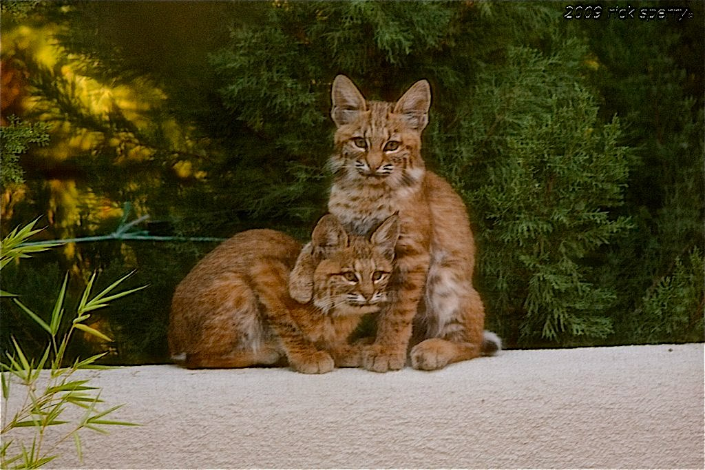 bobcat cubs playing - Sheri Sperry Coldwell Banker top sedona real estate agent